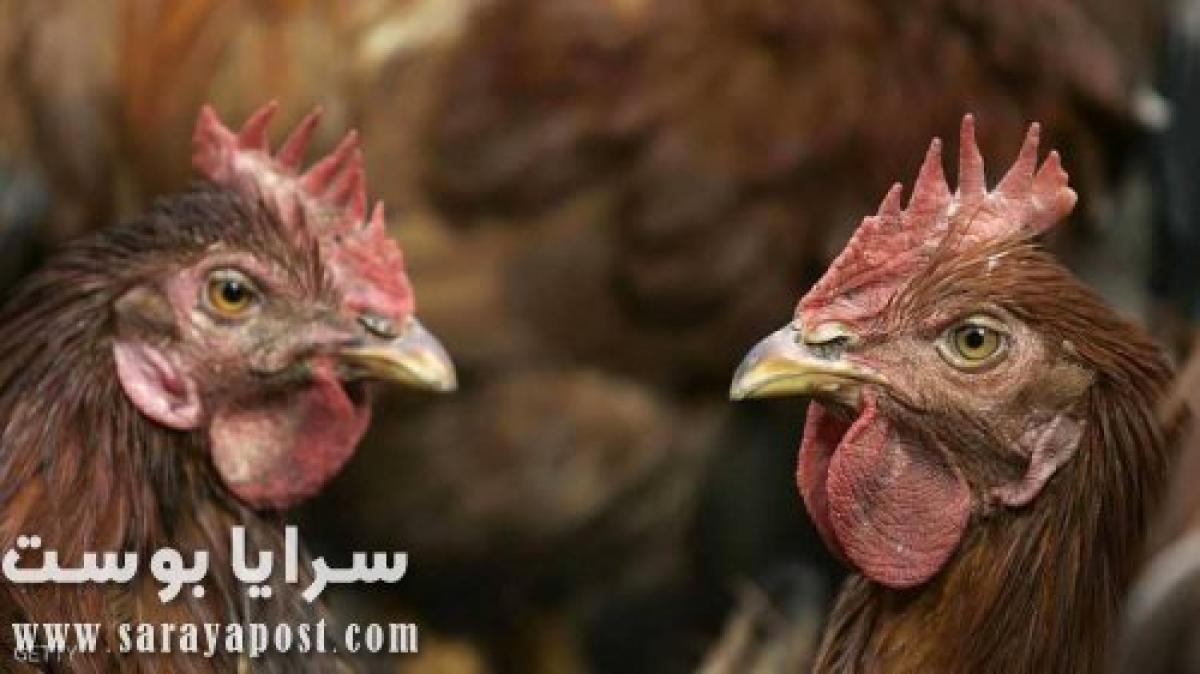 عاجل.. أخطر سلالات فيروس إنفلونزا الطيور تضرب أميركا