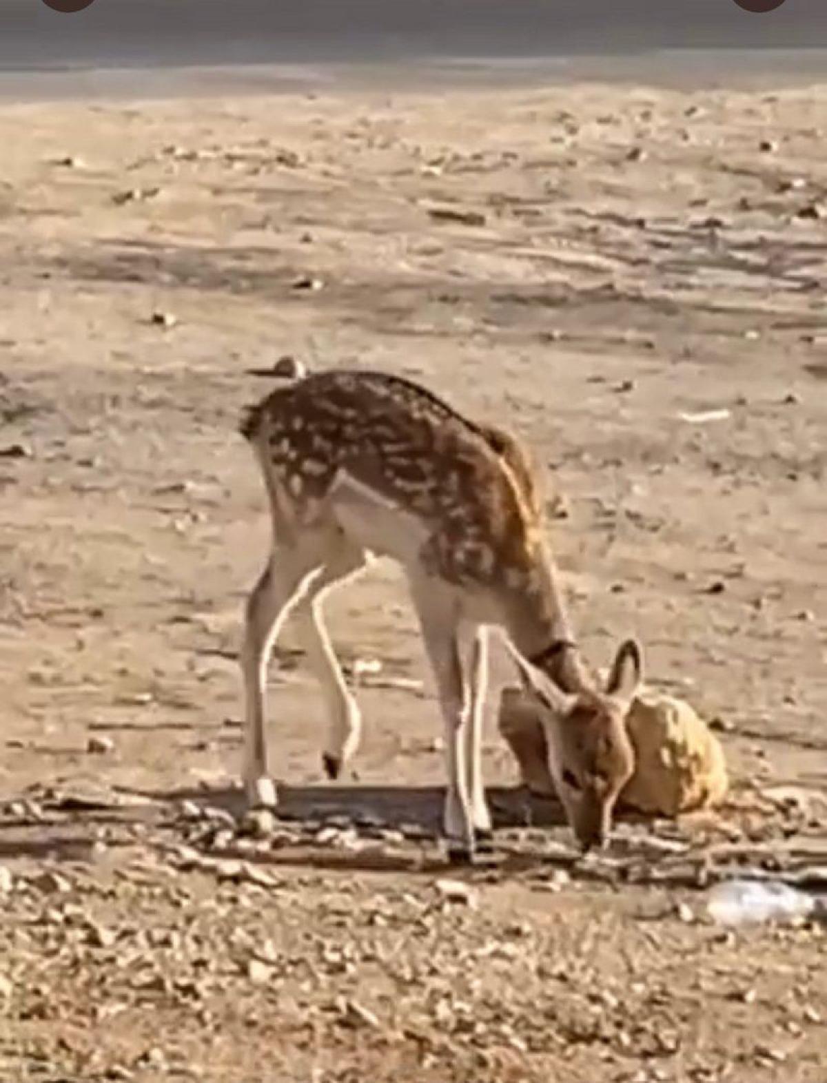 """مواطنة تنشر فيديو لغزال تائه في الرياض.. و""""الحياة الفطرية"""" تتفاعل"""